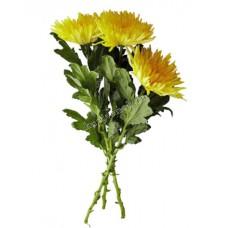 Цветы Хризантемы Желтые